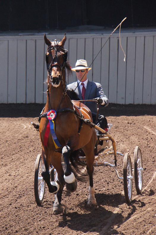 American Saddlebred fine harness horse