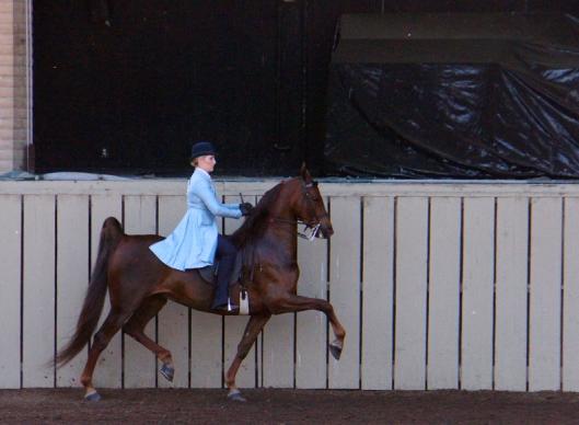 American Saddlebred park horse